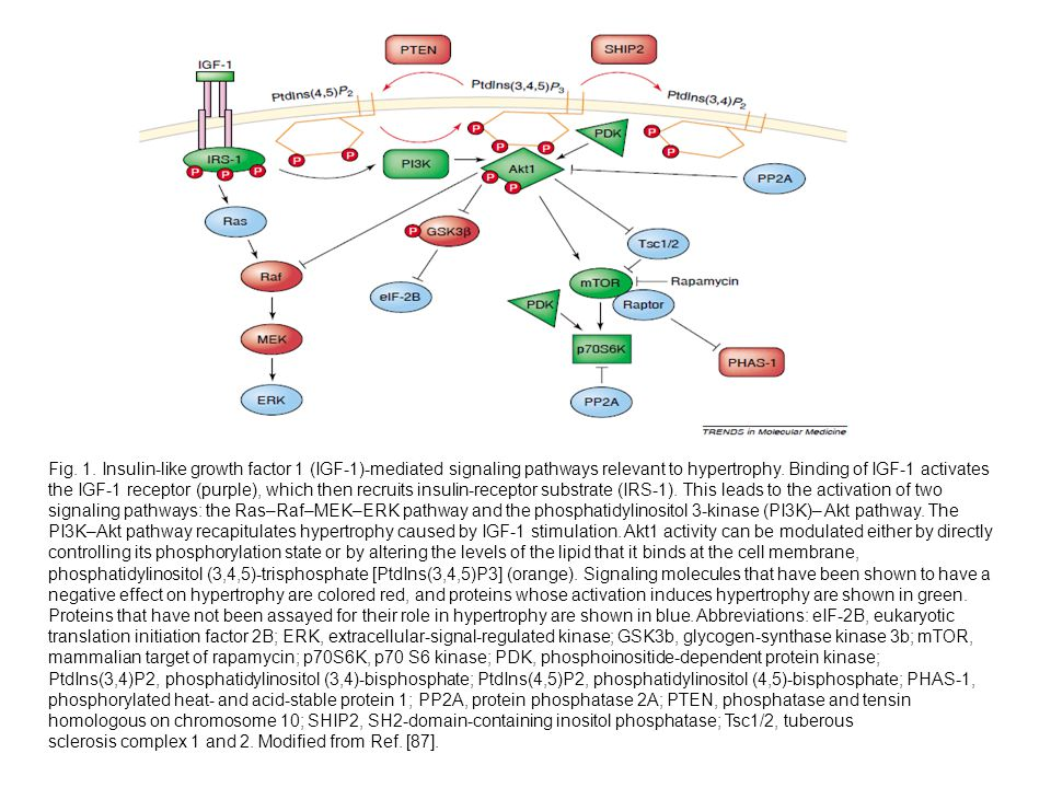Fig. 1. Insulin-like growth factor 1 (IGF-1)-mediated signaling pathways relevant to hypertrophy. Binding of IGF-1 activates the IGF-1 receptor (purple), which then recruits insulin-receptor substrate (IRS-1). This leads to the activation of two signaling pathways: the Ras–Raf–MEK–ERK pathway and the phosphatidylinositol 3-kinase (PI3K)– Akt pathway. The PI3K–Akt pathway recapitulates hypertrophy caused by IGF-1 stimulation. Akt1 activity can be modulated either by directly controlling its phosphorylation state or by altering the levels of the lipid that it binds at the cell membrane, phosphatidylinositol (3,4,5)-trisphosphate [PtdIns(3,4,5)P3] (orange). Signaling molecules that have been shown to have a negative effect on hypertrophy are colored red, and proteins whose activation induces hypertrophy are shown in green. Proteins that have not been assayed for their role in hypertrophy are shown in blue. Abbreviations: eIF-2B, eukaryotic translation initiation factor 2B; ERK, extracellular-signal-regulated kinase; GSK3b, glycogen-synthase kinase 3b; mTOR, mammalian target of rapamycin; p70S6K, p70 S6 kinase; PDK, phosphoinositide-dependent protein kinase;